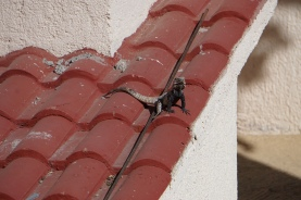 A lizard on the roof of a neighboring building at our resort.